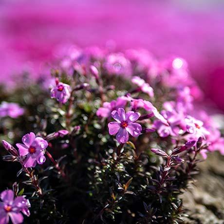 A close up shot of pink moss flower