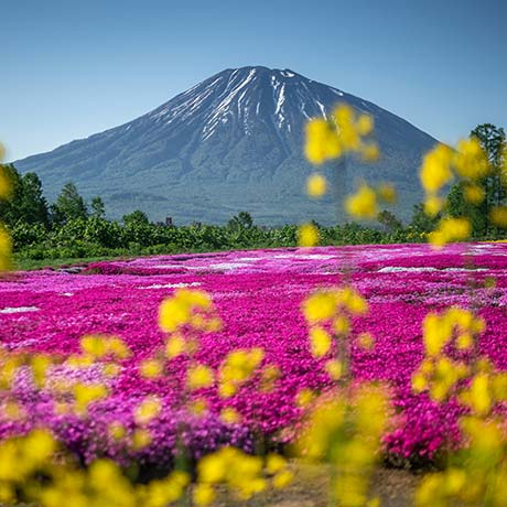 Pink moss and flowering rapeseed with Mt. Yotei in the background