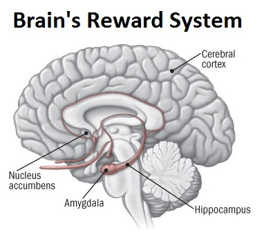 Image result for reward system in the brain