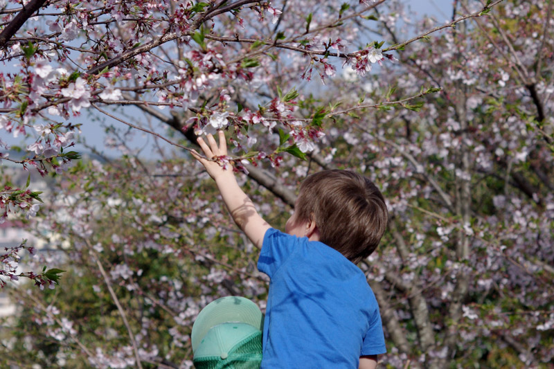 Young child reaching up to touch cherry blossom flowers