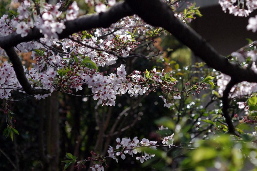 Close up view of cherry blossom tree