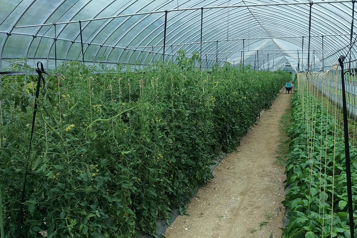 Inside tent for tomatoes