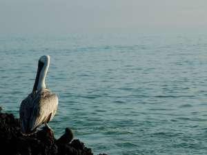 trip212_4_ecuador_pelican