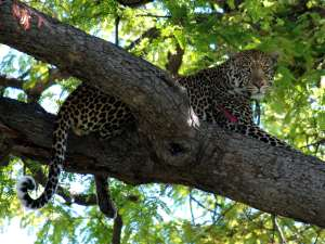 trip201_7_tansania_ruaha_leopard