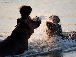 trip201_2_tansania_selous game reserve_flusspferde