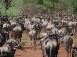 trip200_13_tansania_serengeti_gnus