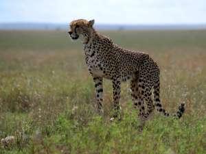 trip200_12_tansania_serengeti_gepard