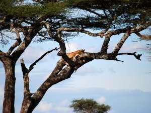trip200_11_tansania__serengeti_leopard