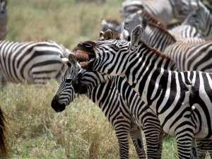 trip199_7_tansania_serengeti_zebras
