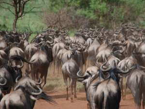 trip199_6_tansania_migration