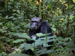trip197_9_uganda_schimpanse