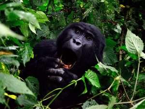 trip196_1_uganda_gorilla