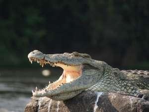 trip197_7_uganda_krokodil