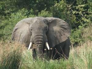 trip196_10_uganda_elefant