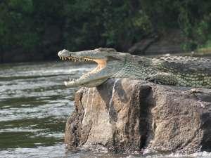 trip196_8_uganda_krokodil