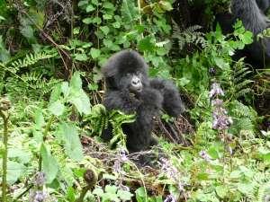 trip194_6_ruanda_gorilla