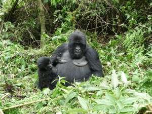 trip193_8_ruanda_gorilla_mit_baby
