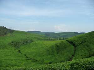trip193_5_ruanda_teeplantage