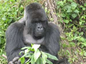 trip193_5_ruanda_gorilla