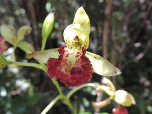 trip192_9_madagaskar_orchidee
