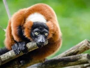 trip189_7_madagaskar_lemure