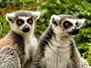 trip189_6_madagaskar_lemure
