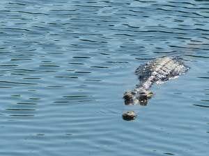trip241_4_australien_krokodil