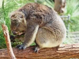 trip241_6_australien_koala