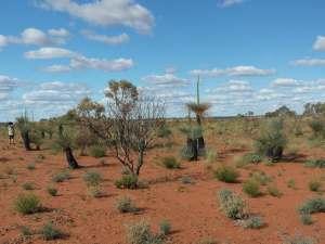 trip241_7_australien_grass trees