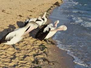 trip241_15_australien_monky mia - pelikane