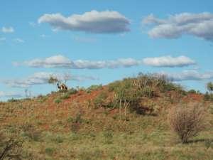 trip243_10_australien_kamele