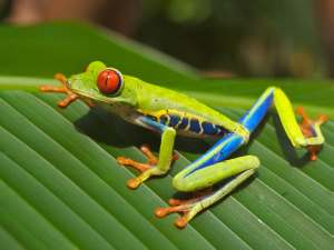 trip30_Costa Rica_Frosch