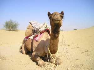 trip89_Indien_Kamel_liegend