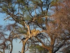 trip312_namibia_leopard