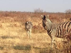 trip312_namibia_zebra
