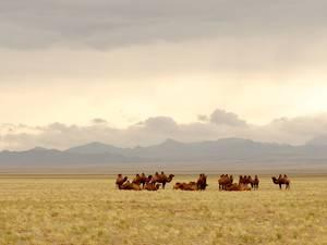 trip337_mongolei_kamele