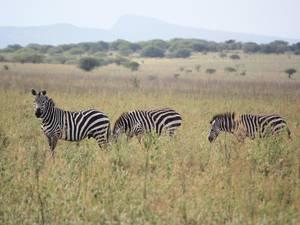 trip368_aethopien_zebras