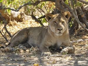 trip311_namibia_botswana_loewe_pb