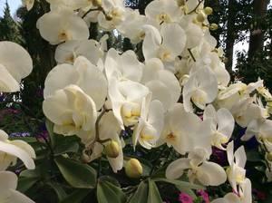 trip357_thailand_orchideen_pb