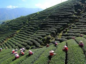 trip328_Indien_Teeplantage_ia