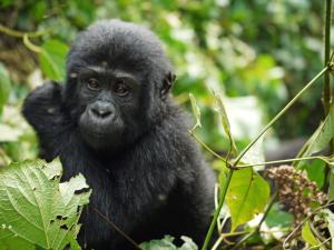 trip313_Uganda_Gorilla_pb