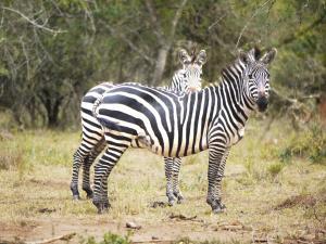 trip313_Uganda_zebra_pb
