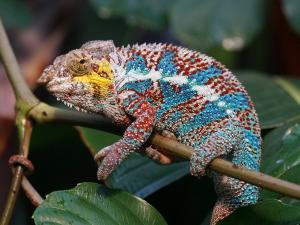 trip339_Madagaskar_Chameleon_pb
