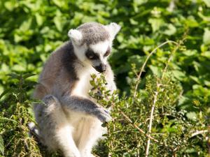trip339_Madagaskar_Lemur  _pb