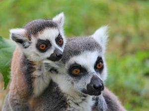 trip339_Madagaskar_Lemur_pb