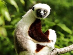trip339_Madagaskar_Sifaka_pb