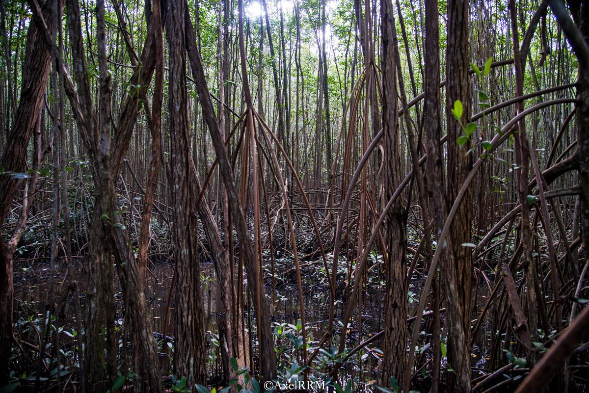 Manglar (mangle) en el Canal Suárez, Carolina, PR. foto de Axel RRM.