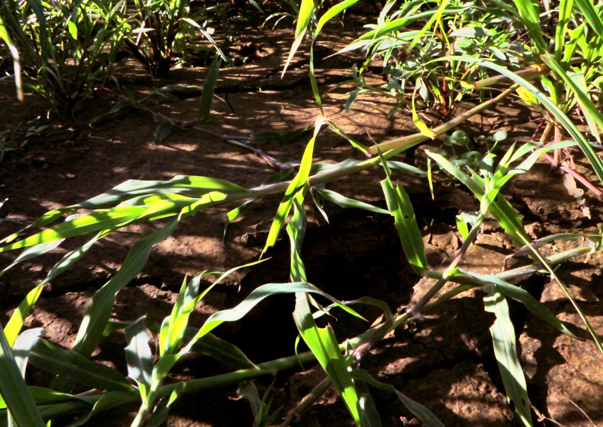 Huellas en el fango, entre Villa Caridad y el Puente Julia De Burgos, Carolina, PR.