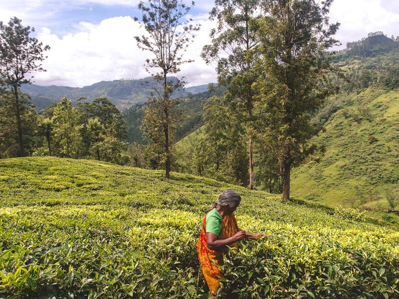 tea plantations in Nuwara Eliya when backpacking Sri Lanka