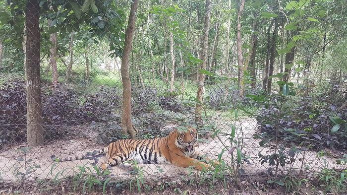 Tiger at Phnom Tamao Wildlife Rescue Center (Phnom Penh)